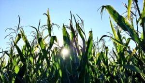 corn field (biofuel concept)