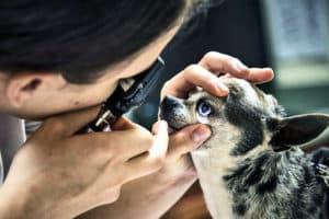 dog eye check