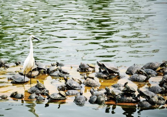 little egret and turtles