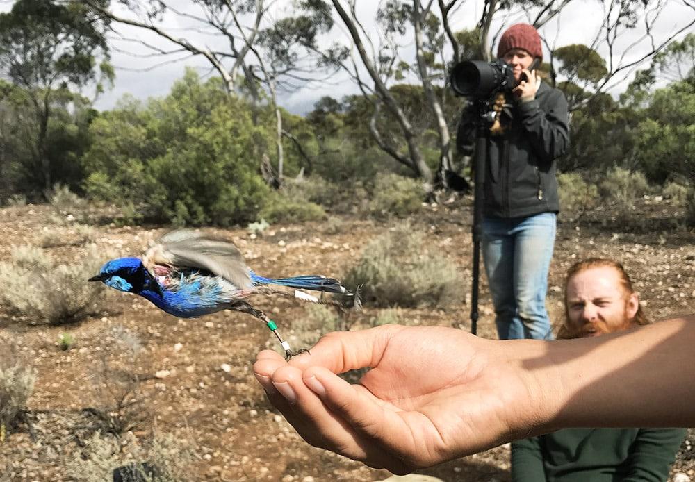 hand releases splendid fairy-wren