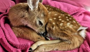 fawn on pink blanket