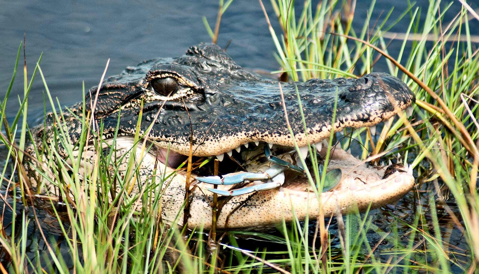 gator eating crab