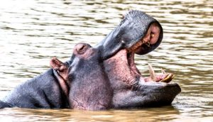 hippo in water mouth open (hippos concept)