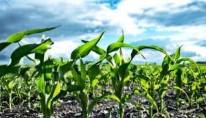 Iowa crops field (carbon storage concept)