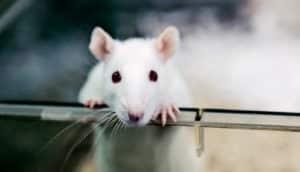 lab rat in a box (Alzheimer's disease concept)