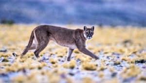 mountain lion on grassland (habitats concept)