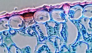 plant stomata and guard cells