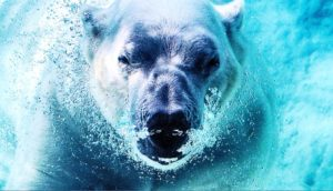 polar bear underwater (climate change and marine protected areas concept)