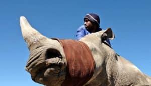 blindfolded rhinoceros - rhino horn