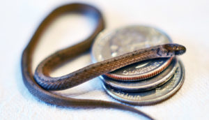 tiny snake on three quarters - coin-toss cheaters concept