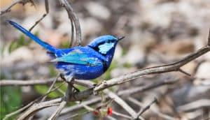blue bird on branch - a splendid fairy-wren