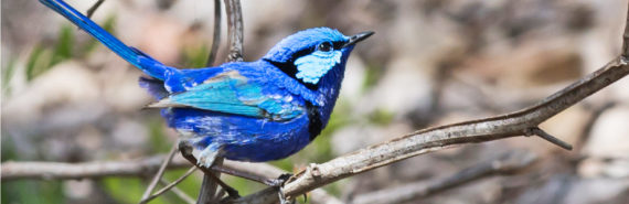 blue bird on branch - a splendid fairy-wren
