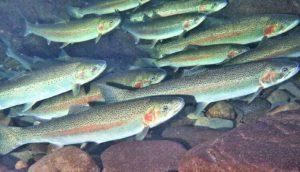 steelhead trout