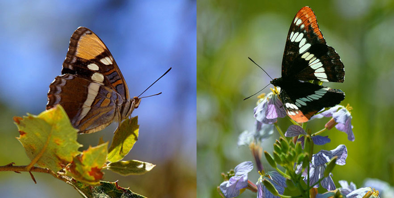 two butterfly species