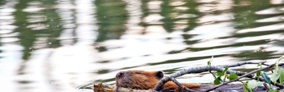 beaver drags branch in water - beaver-inspired robots