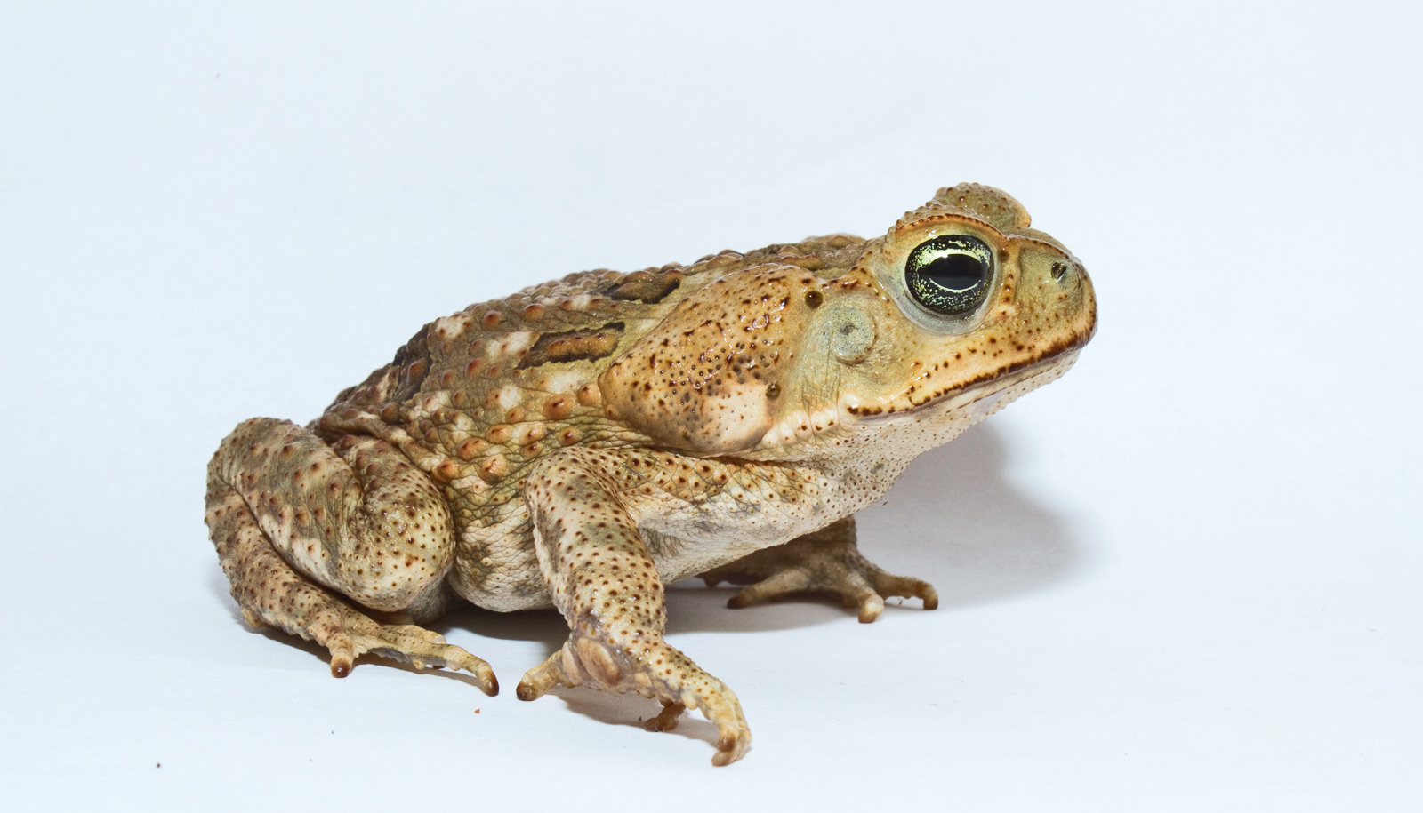 cane toad on white