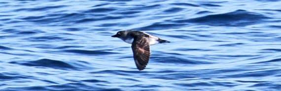 cassin's auklet flying (seabirds concept)