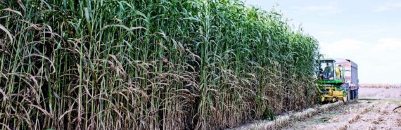 farming sorghum (crop performance concept)