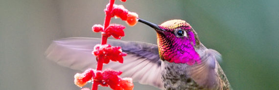 hummingbird at red flower
