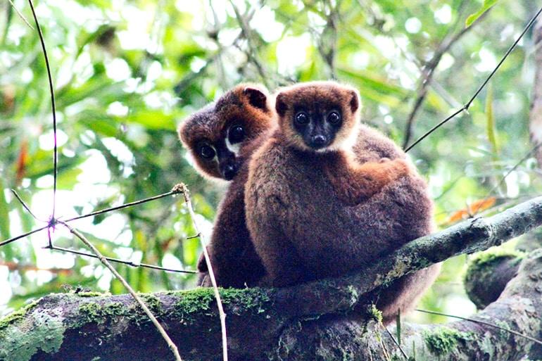 lemur dad and kid