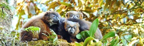 lemur family (lemurs concept)