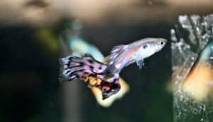 male cobra guppy