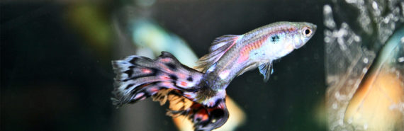 male cobra guppy