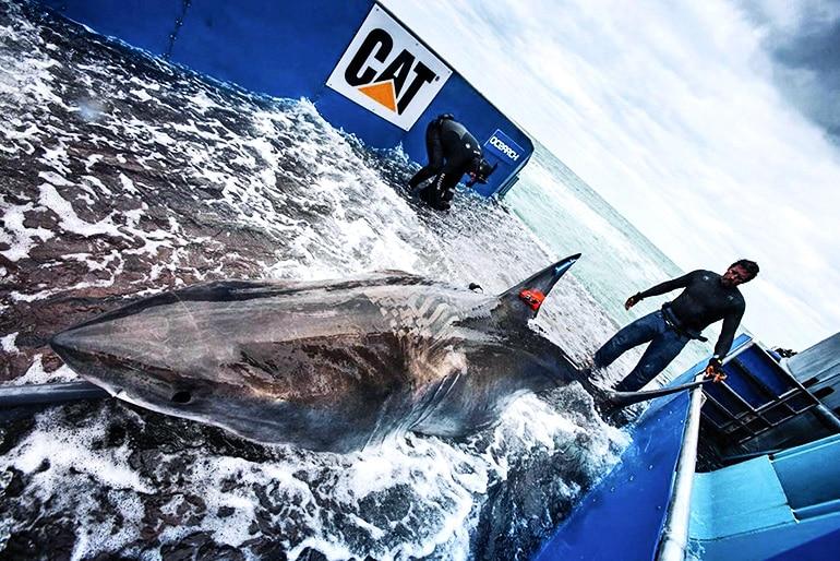 shark tagging