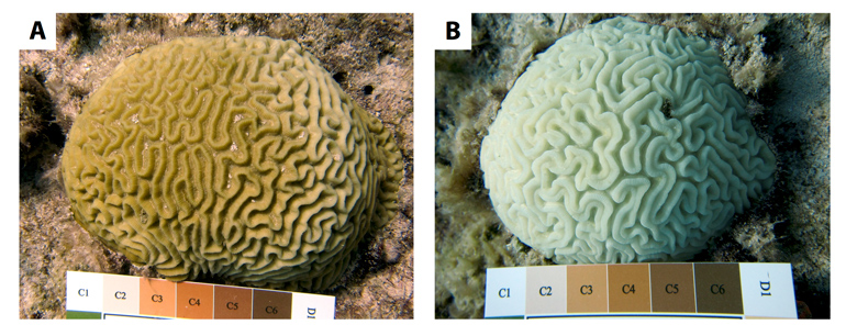 healthy and bleached coral comparison