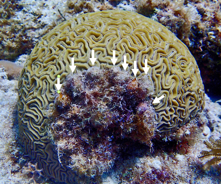 algae grows where snails damaged brain coral