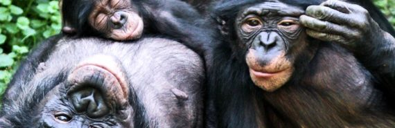 smiling bonobos