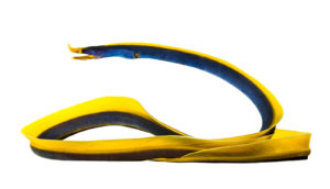 yellow and blue eel on white