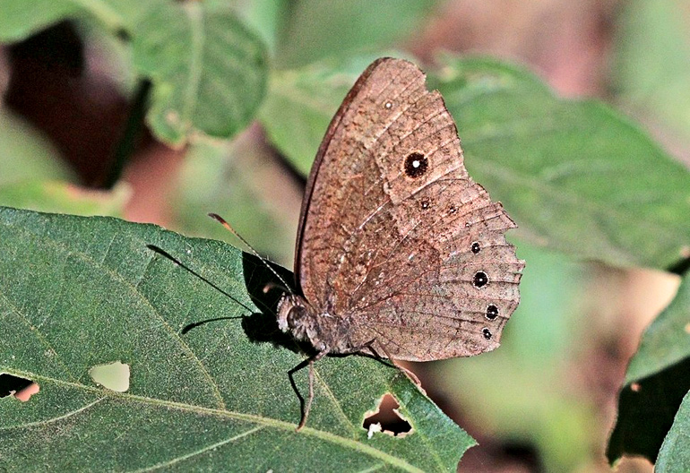 brown butterfly on leaf - Bicyclus anynana