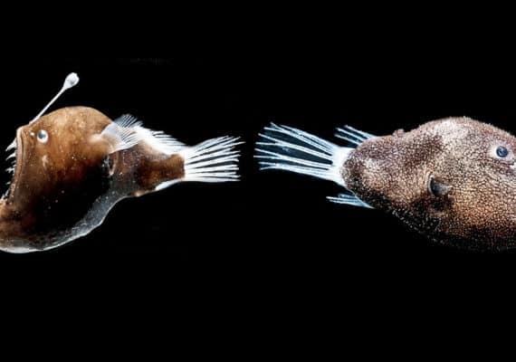 two female anglerfish on black