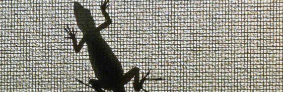 anole lizard in silhouette