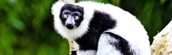 black and white lemur in tree (lemurs concept)