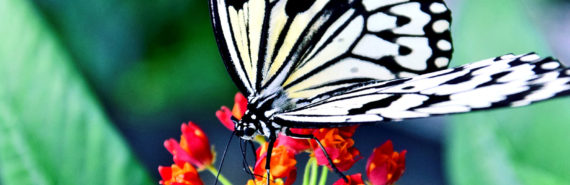 black and white butterfly on red flower - butterfly wings