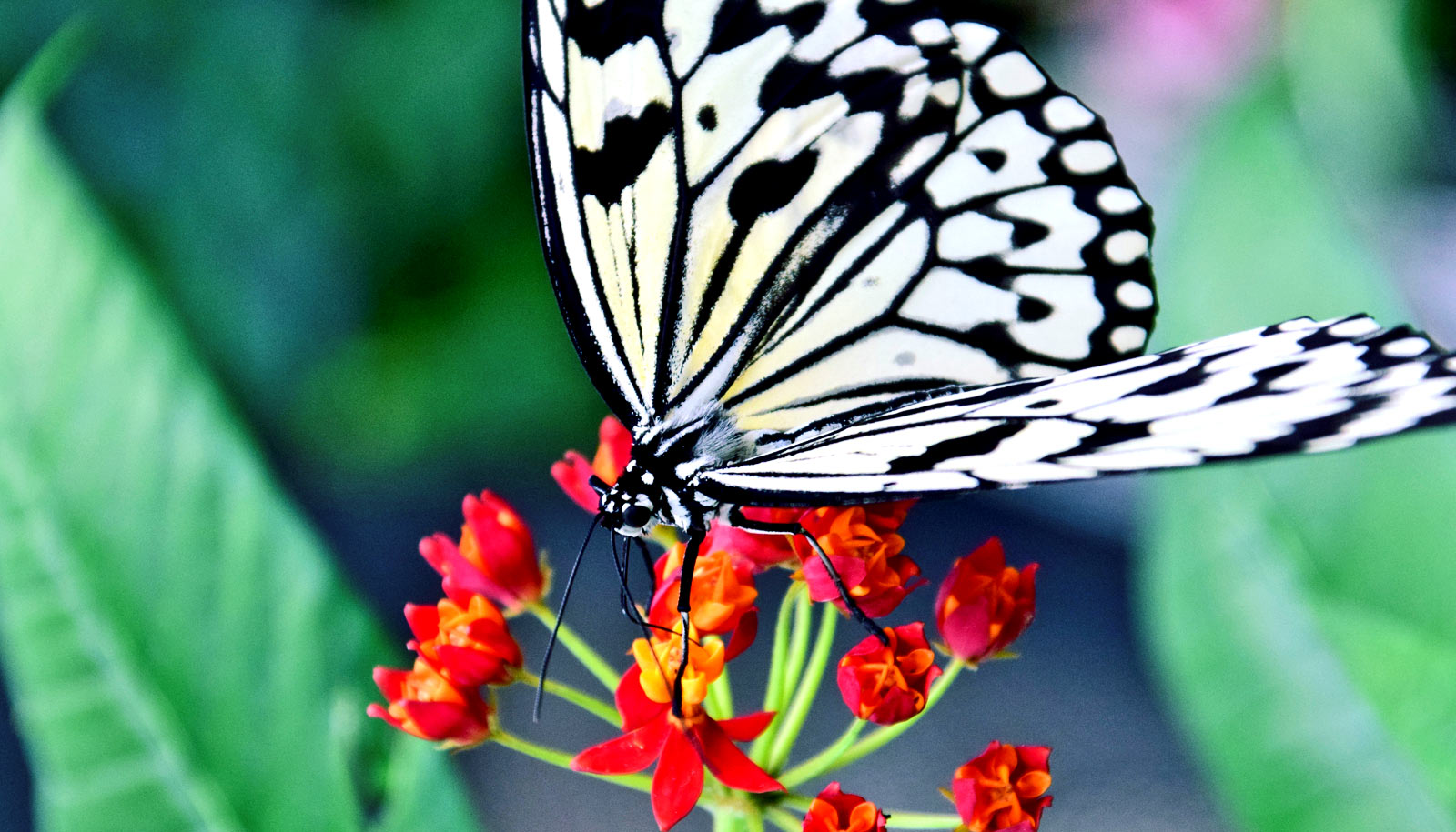 How butterflies get color patterns on their wing tops ...