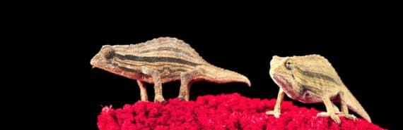 two chameleons on red plant