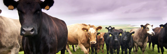 cows in Scotland (foot-and-mouth disease concept)