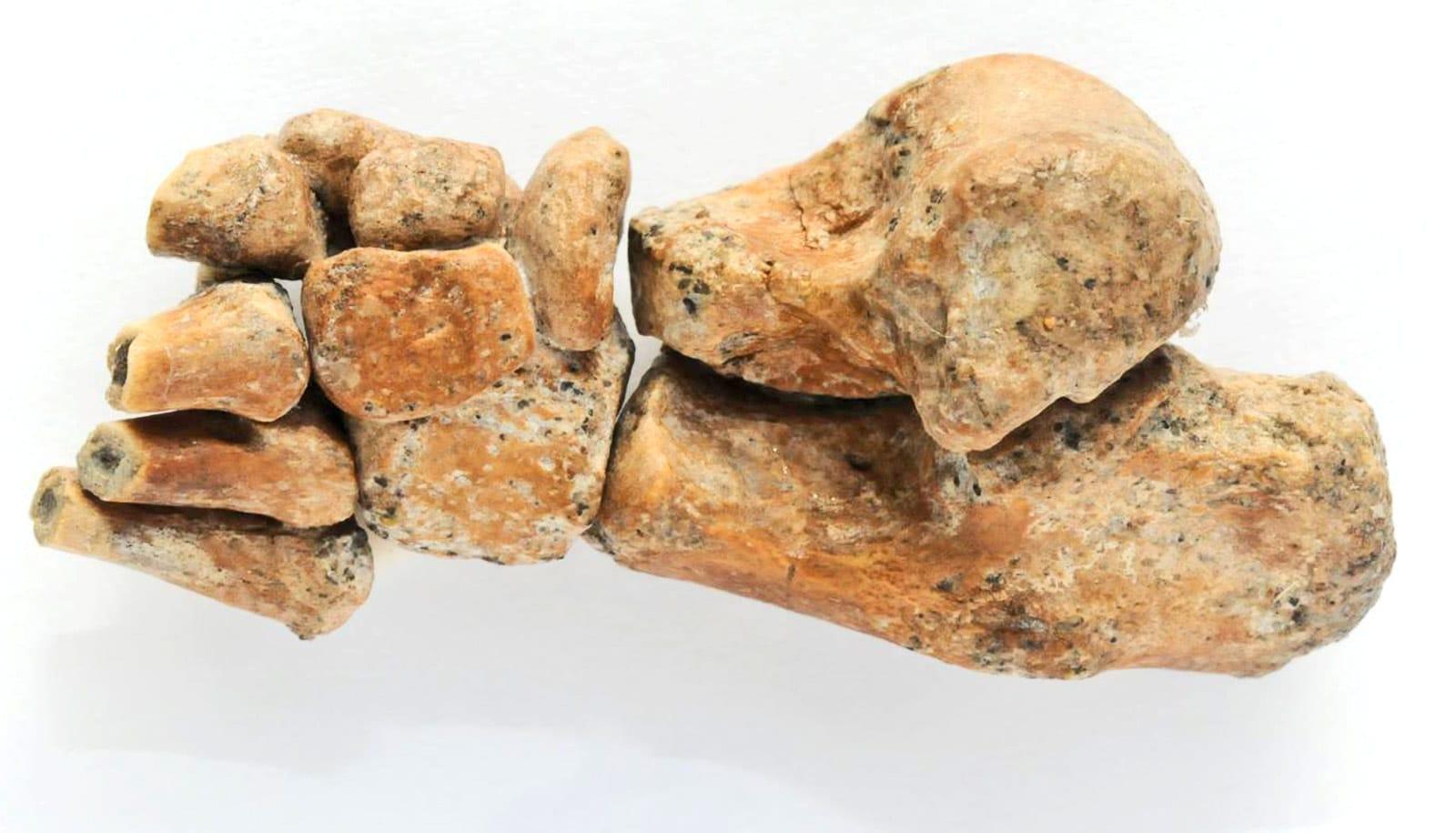Dikika toddler foot fossil