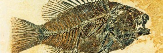 eocene sunfish fossil