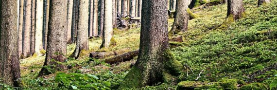 trees and sloping forest floor
