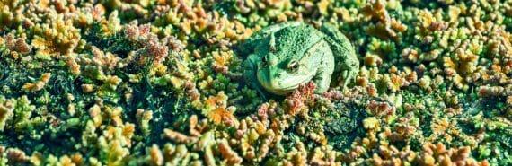 frog on algae