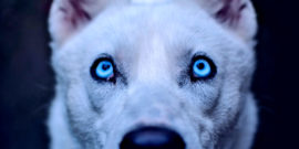 husky eyes looking up (dogs concept)