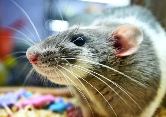 lab rat close up (ALS treatment concept)