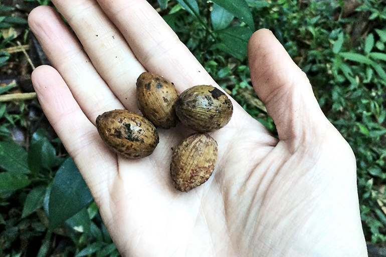 Madagascar tree seeds
