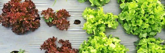 mulch plastic on lettuce field