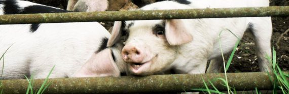 two piglets behind fence - endocrine disruptors