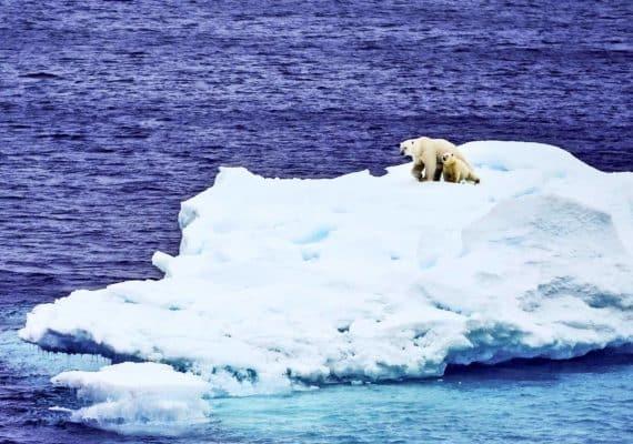 polar bears on ice (icebergs concept)